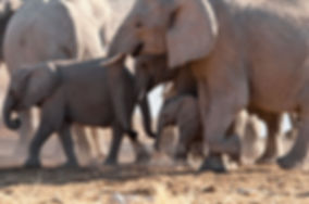 Elephants rushing to a waterhole, Etosha, Namibia - elephants046