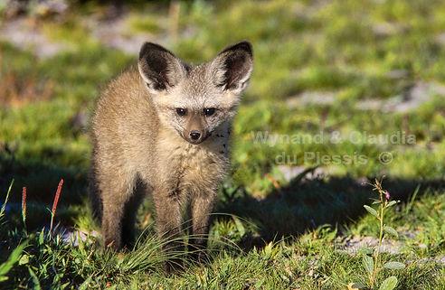 Baby Bat-eared fox, Etosha: wildlife045