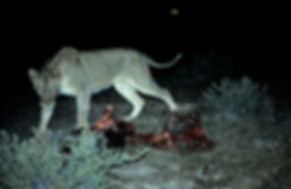 Lioness at night on kill, Etosha, Namibia: lion013