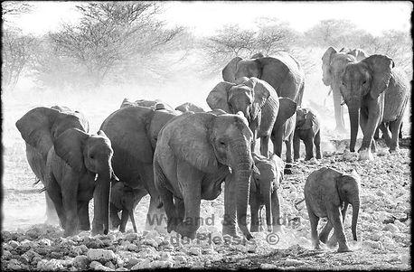 Elephants ariving at a waterhole, Etosha, Namibia _ Black-White056