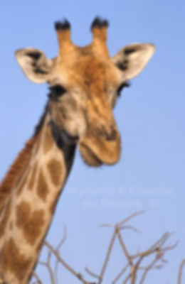 Giraffe portrait, Etosha, Namibia: wildlife053