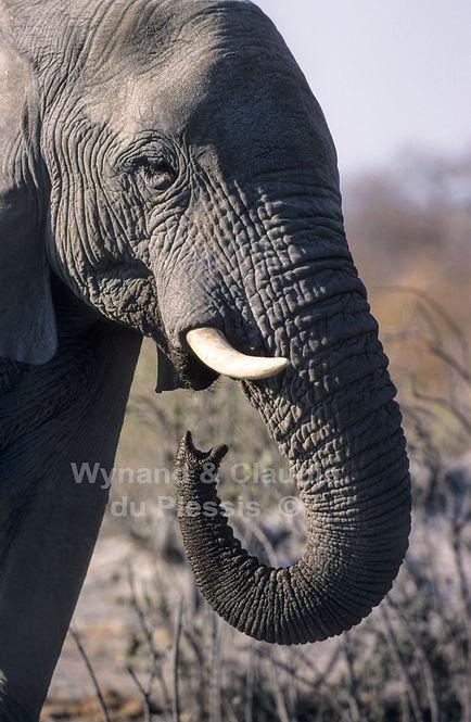 Elephant drinking, Etosha, Namibia - elephants090