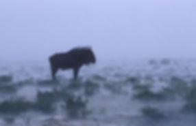 Gnu in rainstorm, Etosha, Namibia - wildlife023
