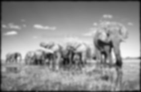 Gentle giants, Etosha, Namibia _ Black-White010