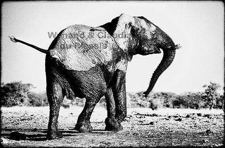 Very angry elephant cow, Etosha, Namibia _ Black-White050