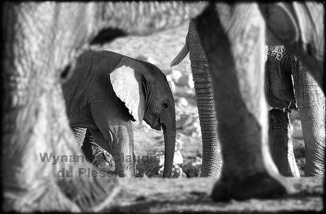 Elephant calf with it's herd, Etosha, Namibia _ Black-White007
