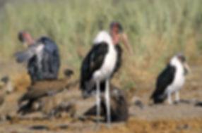 Maraboe Storks & Vultures, Etosha, Namibia - birds018