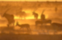 Springbok & Gemsbok at sunset - m'Bari waterhole, Etosha: wildlife049