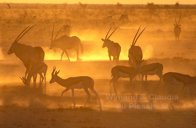 Springbok & Gemsbok at sunset - m'Bari waterhole, Etosha: wildlife049