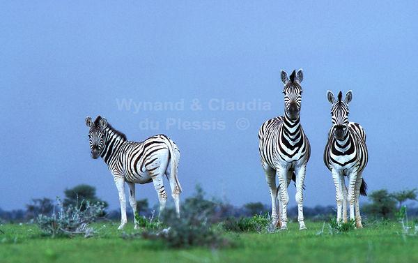 Burchell's zebra in rainy season, Etosha, Namibia: wildlife069