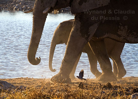 Elephants at waterhole, Etosha, Namibia - elephants054
