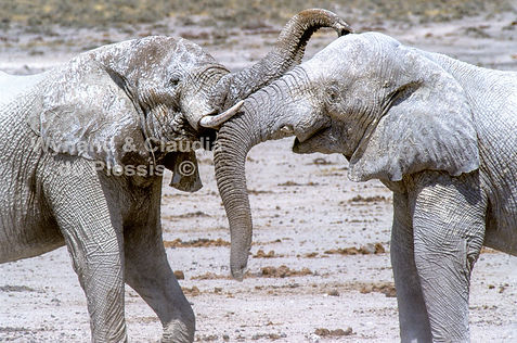 The white elephant of Nebrownii, Etosha, Namibia: elephants148