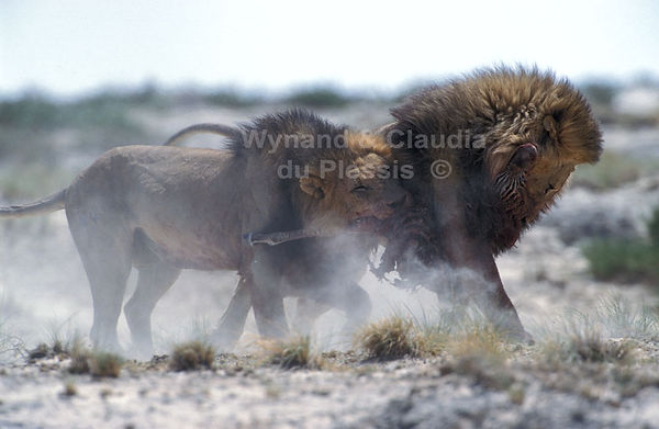 Lions fighting over zebra foal: lion039