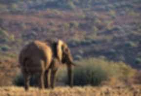 Desert elephant in Damaraland, Namibia - elephants022