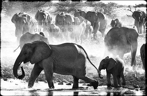 Elephant herd gathers at a waterhole, Etosha, Namibia _ Black-White022