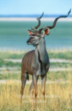 Kudu bull at the Etosha Pan: wildlife064