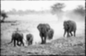 Elephants rushing to a waterhole, Etosha, Namibia _ Black-White059