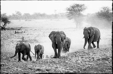 Elephants rushing to a waterhole, Etosha, Namibia _ Black-White059