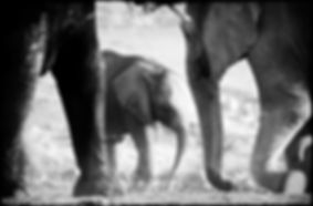 Elephant baby with mother, Etosha, Namibia _ Black-White037