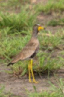 Wattled Plover, Caprivi, Namibia - birds044