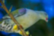 African Green-pigeon, Kavango, Namibia - birds056