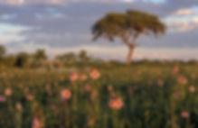 Flowers during rainy season in Etosha: landscape036