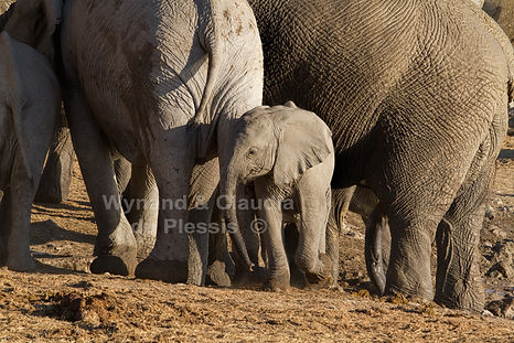 Baby elephant with herd, Etosha, Namibia: elephants132