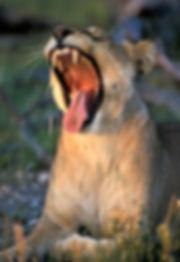Lioness yawning, Etosha, Namibia: lion009