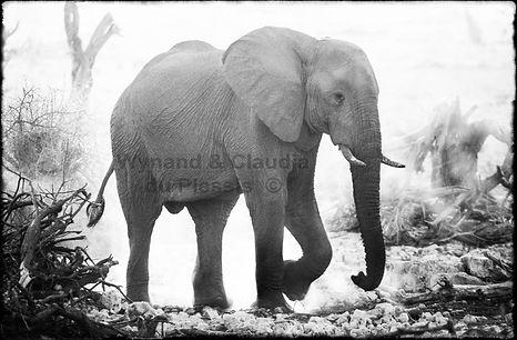 Elephant at sunset, Etosha, Namibia _ Black-White052