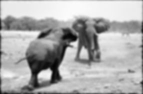 Elephant bulls confrontation, Etosha, Namibia _ Black-White004