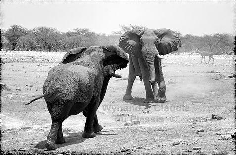 Elephant bulls confrontation, Etosha, Namibia _ Black-White004