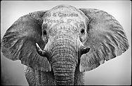 elephants-black-and-white-etosha-namibia
