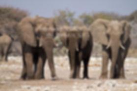 Young elephant bulls, Etosha, Namibia: elephants139
