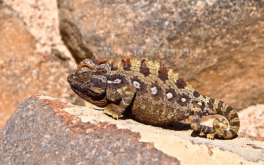 Namaqua chameleon, Namib Desert - wildlife041
