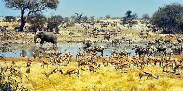 Okaukuejo waterhole with Elephant, zebra and springbok, Etosha, Namibia - elephants005