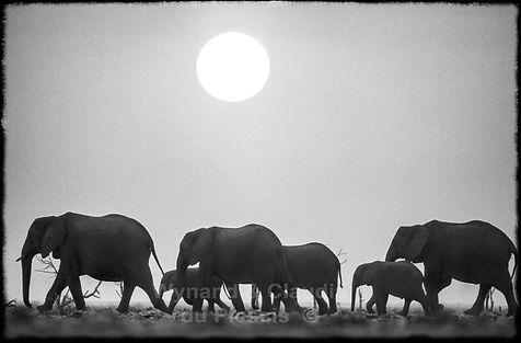 Elephant herd at sunset, Etosha, Namibia _ Black-White003