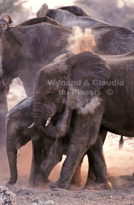 Elephants dust bathing, Etosha, Namibia - elephants064