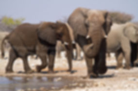 Elephant bulls at waterhole, Etosha, Namibia - elephants070
