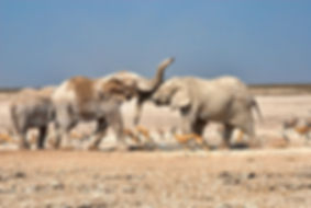 Elephant bulls play-fighting, Nebrownii, Etosha, Namibia - elephants077