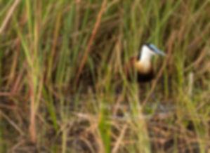 African Jacana, Mahango Game Reserve, Namibia - birds059