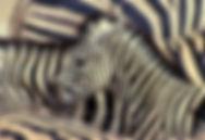 zebra-stripes-etosha-namibia