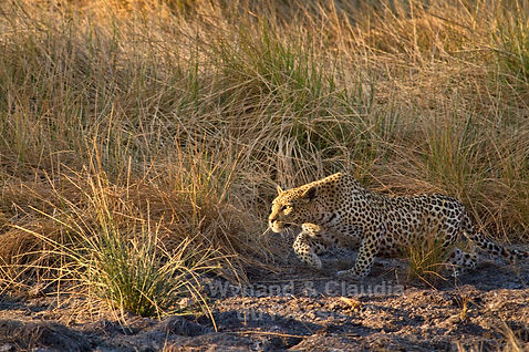 Leopard stalking prey, Namibia - wildlife008