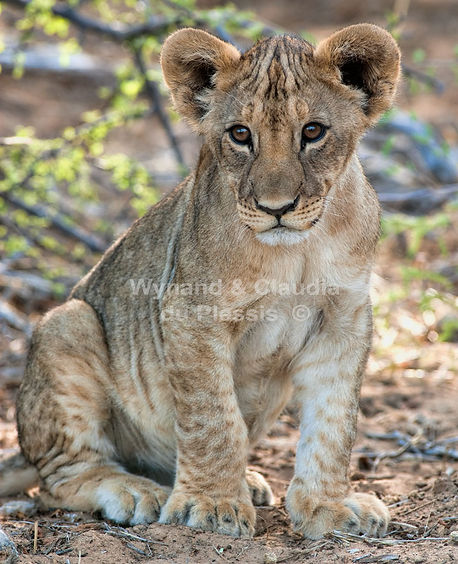 Lion cub, Etosha: lion047