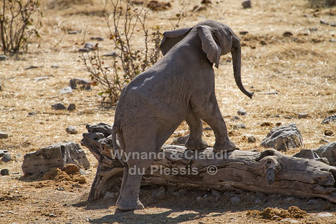 Playful elephants calf, Etosha, Namibia: elephants128