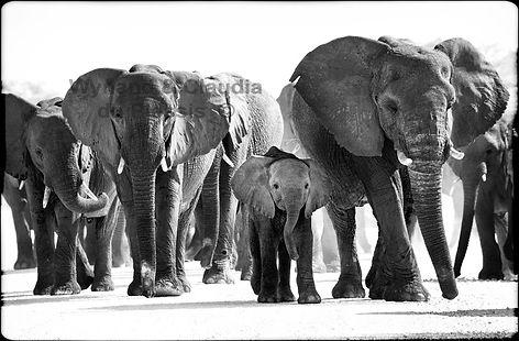 Elephant herd on road, Etosha, Namibia _ Black-White024