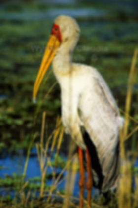 Yellow-billed Stork, Kruger Park, South Africa - birds024