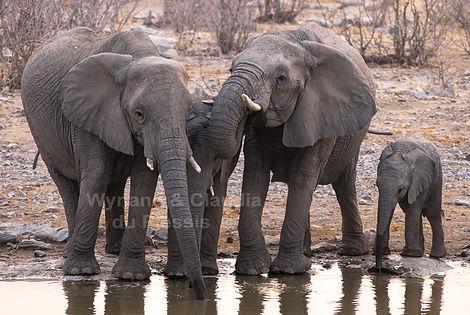 Elephants drinking, Etosha, Namibia: elephants107