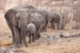 Elephant herd in Mopane savanna, Etosha, Namibia - elephants099
