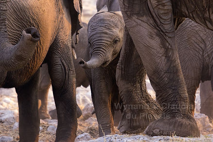Elephant baby with herd, Etosha - elephants166