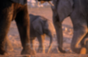 Elephant baby with herd, Etosha, Namibia - elephants067